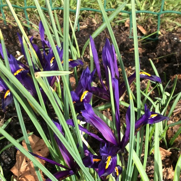 iris reticulata reticulate iris uploaded by helmside. Black Bedroom Furniture Sets. Home Design Ideas