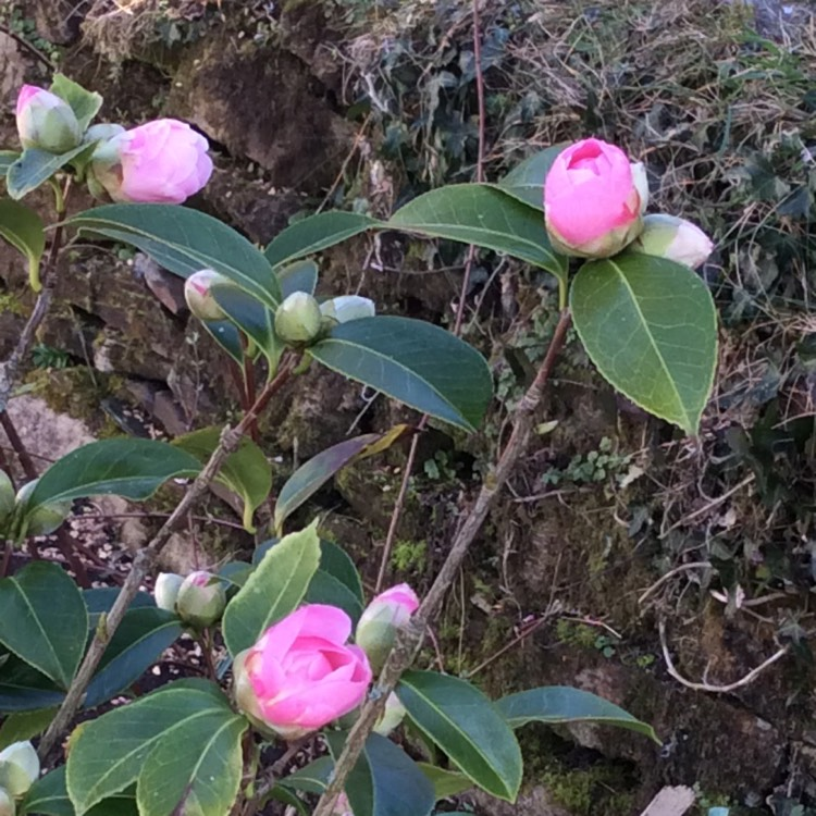 Plant image Camellia williamsii 'E G Waterhouse'