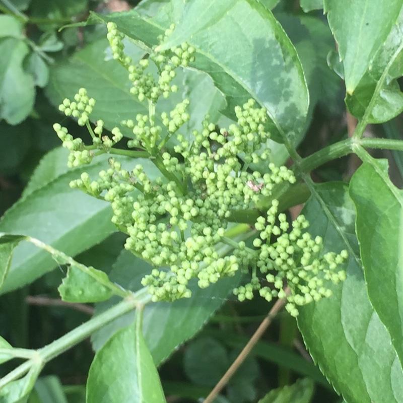 sambucus nigra f porphyrophylla 39 eva 39 elder black lace. Black Bedroom Furniture Sets. Home Design Ideas