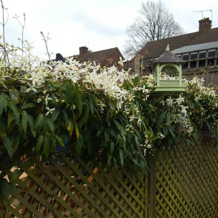Plant image Clematis armandii 'Apple Blossom'
