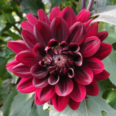 Dahlia 'Arabian Night' (Decorative)