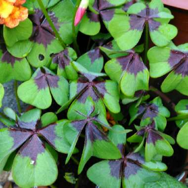 Oxalis tetraphylla 'Iron Cross'