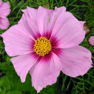 Cosmos Bipinnatus 'Sensation ' (Mixed)
