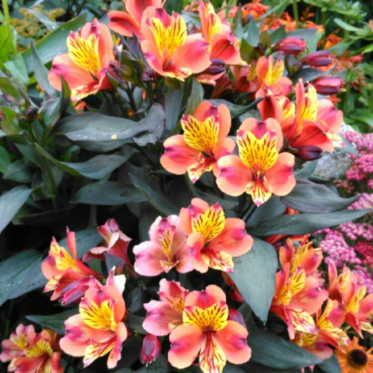 Plant image Alstroemeria 'Tesronto' (Summer Paradise Series) syn. Alstroemeria 'Indian Summer'