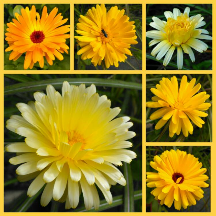 Plant image Calendula officinalis 'Art shades Mix'