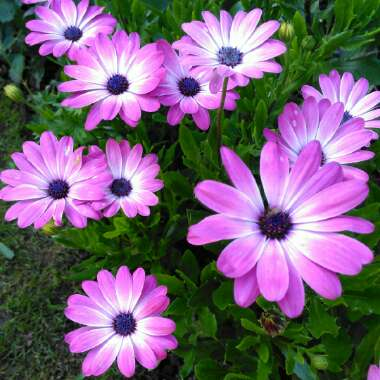 African daisy'Pink Magic'