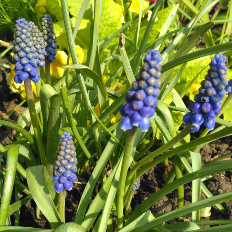 Plant image Muscari armeniacum (unknown variety)