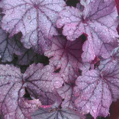 Heuchera Little Cutie 'Sugar Berry'