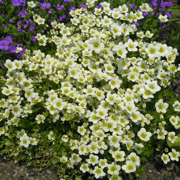 Plant image Saxifraga x arendsii 'Alpino Early Lime'