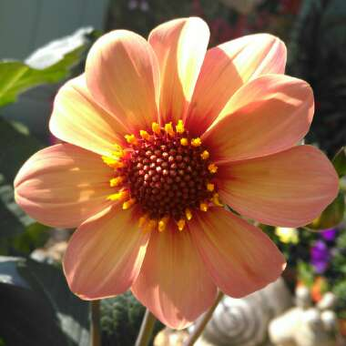 Dahlia 'Happy Single™ First Love'