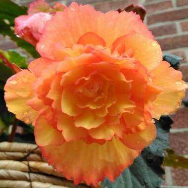 Begonia illumination 'Golden Picotee'