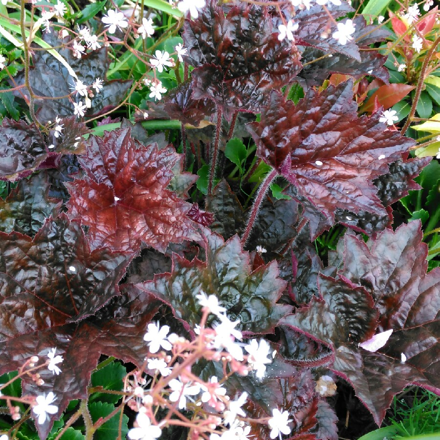 Plant image Heuchera villosa 'Palace Purple' syn. Heuchera sanguinea 'Palance Purple', Heuchera micrantha 'Palace Purple'