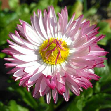 Bellis perennis 'Habanera White with Red Tips'