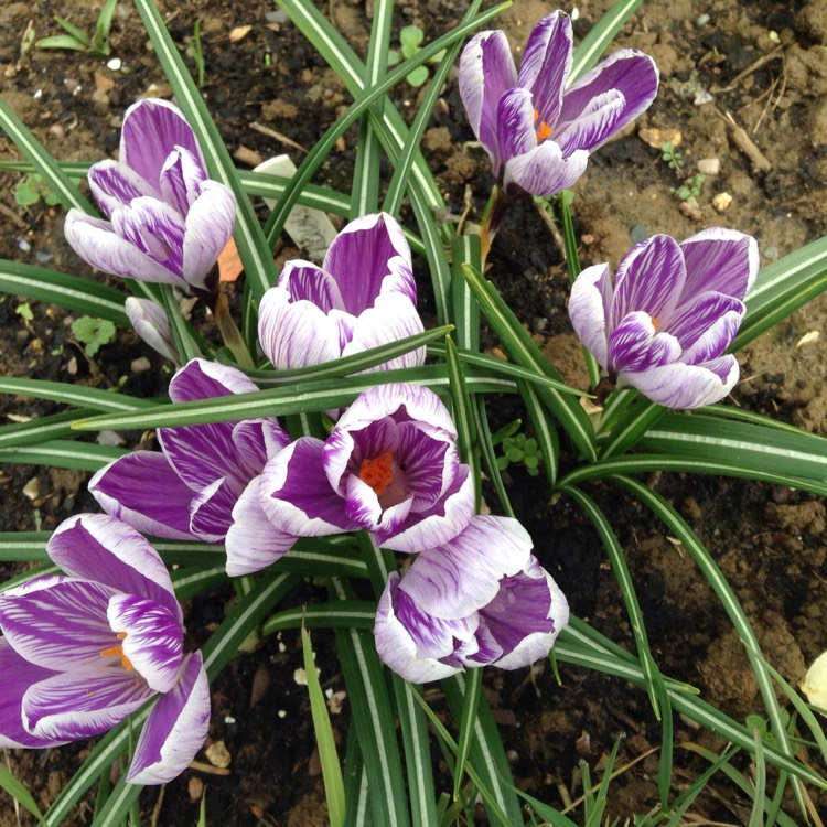 Plant image Crocus 'King of the Striped'