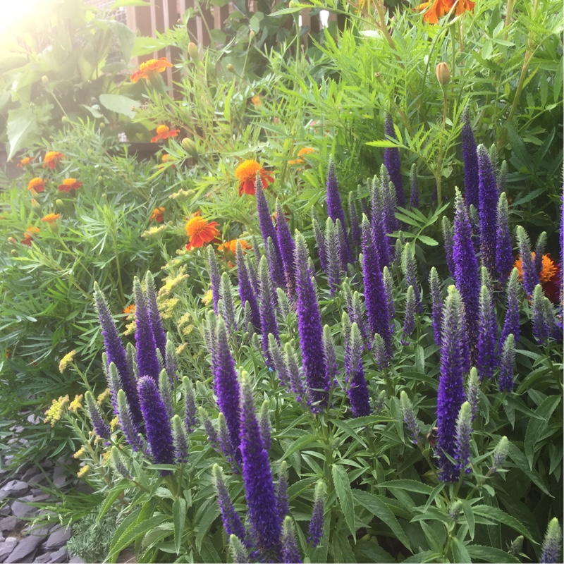 Plant image Veronica spicata 'Glory Royal Candles'