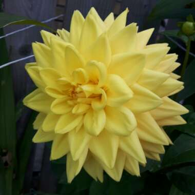 Dahlia 'Dahlietta Julia' (Bedding)