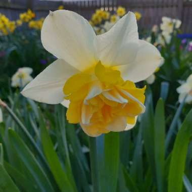 Daffodil 'Orange Phoenix' (Double)