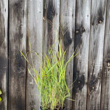 Switch Grass 'Hanse Herms'