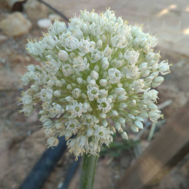 Plant image Allium cepa (Cepa Group)