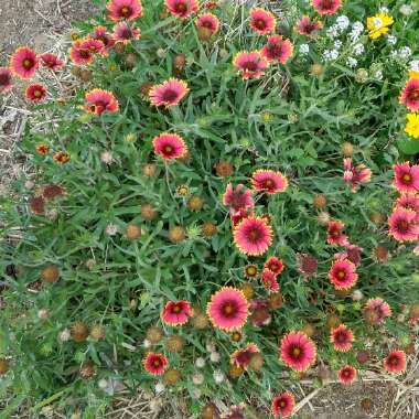 Blanket Flower 'Dazzler'