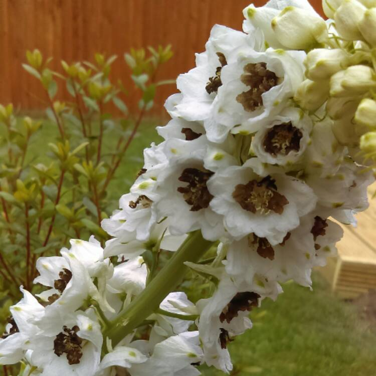 Plant image Delphinium 'Magic Fountains White Dark Bee'