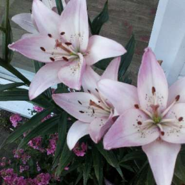 Lily 'Entertainer' (Oriental)