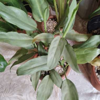 Silver Sword Philodendron