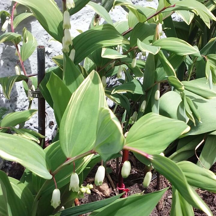 Polygonatum odoratum var  pluriflorum 'Variegatum' syn