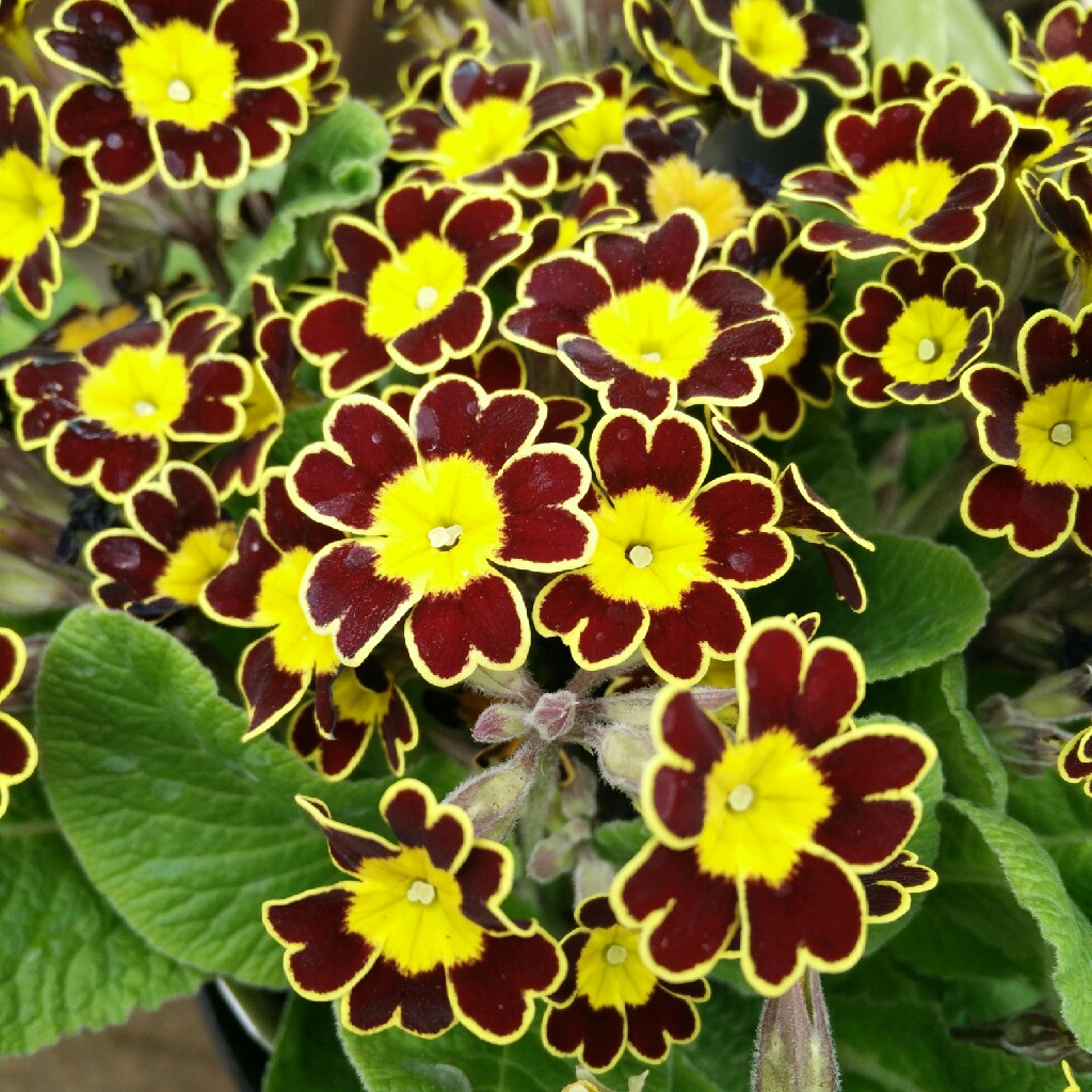 Primula Veris 'Little Queen Red'