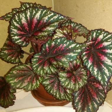 Begonia 'African Jungle'