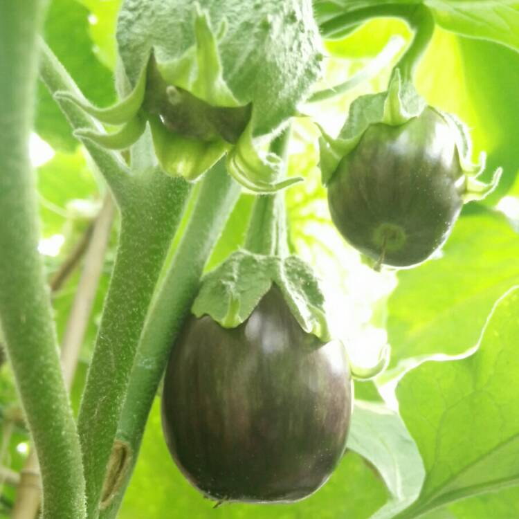Plant image Solanum melongena 'Black Beauty'