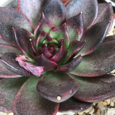 Echeveria Agavoides Blood Maria