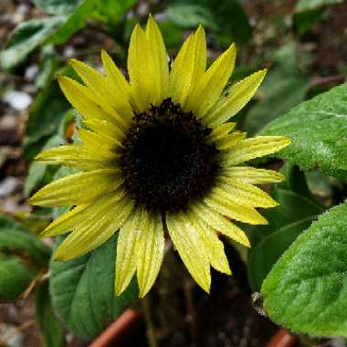 Helianthus Annuus 'Sunspot'