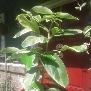 Pink Variegated Eureka Lemon Tree