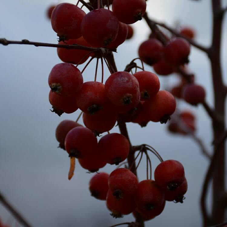 Plant image Malus Robusta 'Red Sentinel'