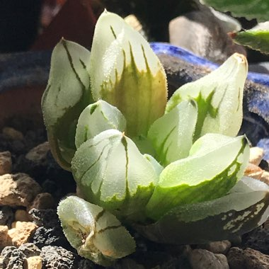 Haworthia 'Ice City'