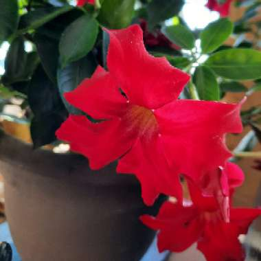 Dipladenia 'Red Riding Hood'
