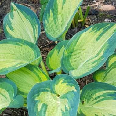 Plantain Lily 'Great Expectations'