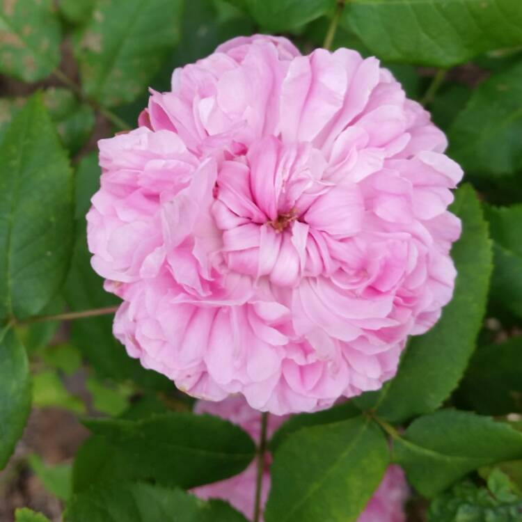 Plant image Rosa 'Jacques Cartier' syn. R. 'Marchesa Boccella'