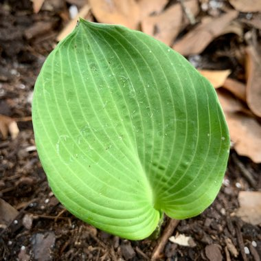 Plantain Lily (Species) Giant Blue Hosta
