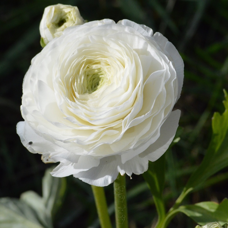 Plant image Ranunculus (unknown variety)