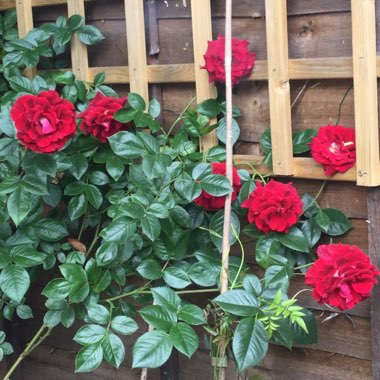 Rose 'Blooming Marvellous'