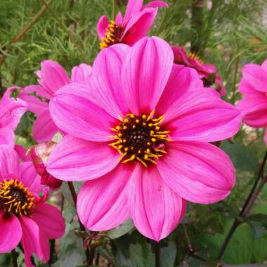 Dahlia 'Bishop's Children' (Single-flowered)