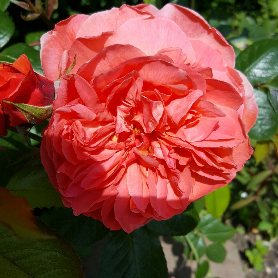 Plant image Rosa 'Austango' syn. Rosa 'Summer Song'