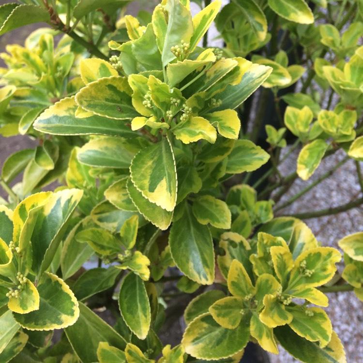Picture of Live Aureo-Variegata Evergreen Euonymus aka Euonymus j. 'Aureo-Variegata' Shrubs Plant Fit 5 Gallon Pot