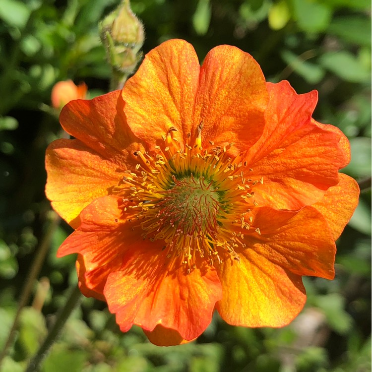 Plant image Geum 'Totally Tangerine'