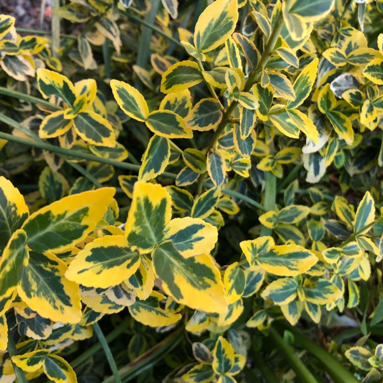 Plant image Euonymus fortunei 'Emerald 'n' Gold'