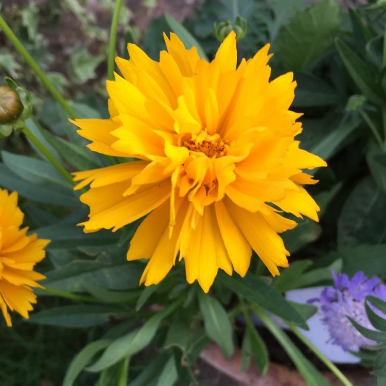 Coreopsis Grandiflora Golden Joy Tickseed Golden Joy