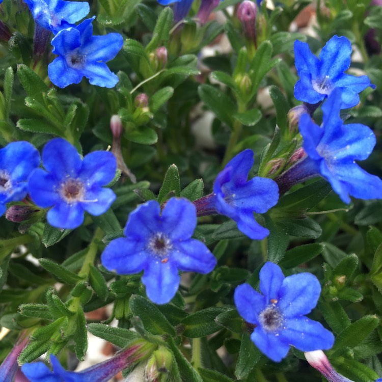 lithodora diffusa 39 heavenly blue 39 syn lithospermum. Black Bedroom Furniture Sets. Home Design Ideas