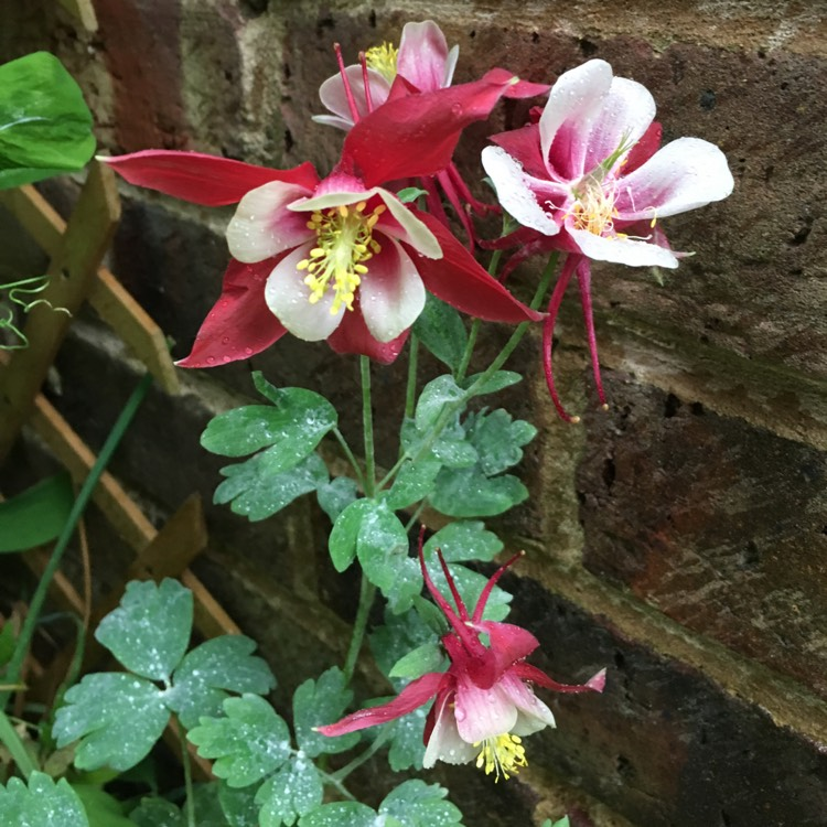 Plant image Aquilegia 'Swan Burgundy and White'
